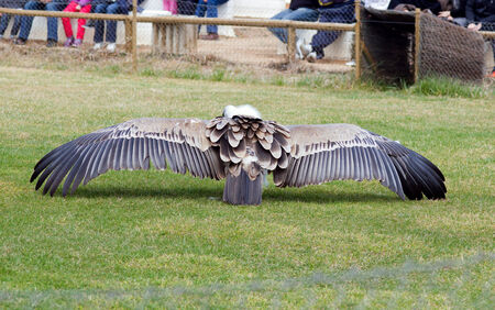 beak vulture: view from the back of a vulture eating with open wings on a bird show Stock Photo