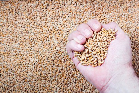 peasant: hand of a farmer with a handful of wheat seeds on a background the harvest