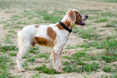 Epagneul Breton, spaniel breton, Brittany Spaniel, Bretonischer Spaniel / hunting dog purebred Epagneul Breton looking at the Hunting Lodge