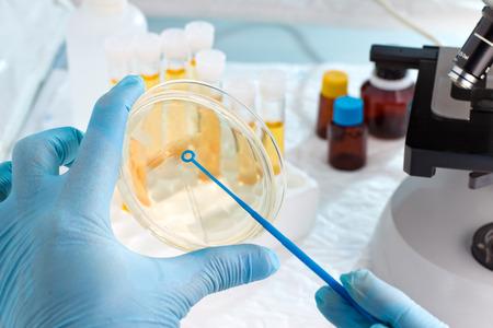 microbiologo mano coltivando un petri loop inoculazione piatto di Pentecoste, accanto a un microscopio e in tubi di sfondo e strumenti di laboratorio  laboratorio tecnico di mano piantare una capsula di Petri