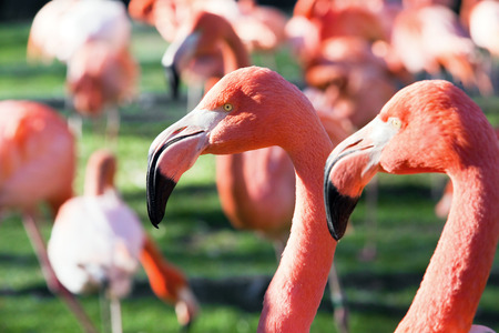 subtropics: one flamingo stands on a group of flamingos against a green meadow on background. Phoenicopterus ruber.