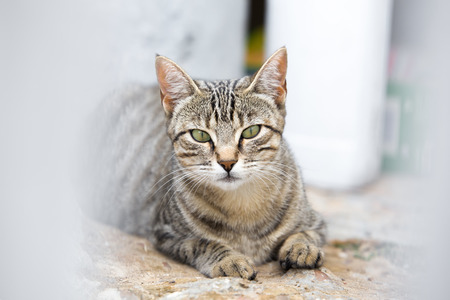 cat isolated: portrait of cat looking at cam with ears raised on stalking interesting attitude  tabby cat looking when lying and lurking Stock Photo
