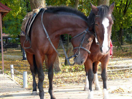 nudging: Horses for walks in autumn park