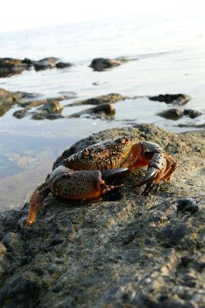 The Black Sea stony crab photo