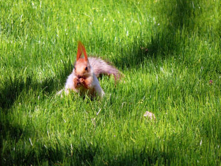 Squirrel eat on a green grass in the park Stock Photo - 7095997