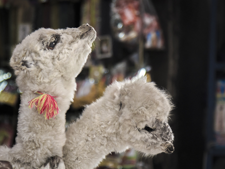 cochabamba: Two llamas ready for using in a offering to the pachamama in Cochabamaba, Bolivia Stock Photo