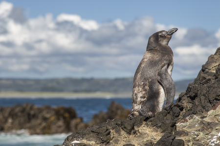 Side-face of a penguin standing in a rock near the seashore in Chiloe, Chile