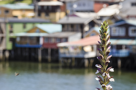 A blurry bee approaches a plant in front of the pile-dwellings of Castro, Chiloe, Chile