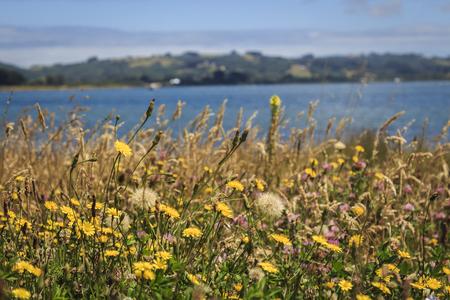 Fleurs d'été dans les prés près de la côte à Chiloé, Chili. Banque d'images - 81107528