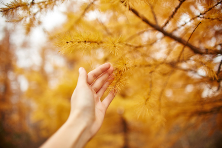 larch tree: Golden autumn with yellow trees in the forest. Tree with yellow larch needles in the hands of women, autumn came. Wonderful autumn mood
