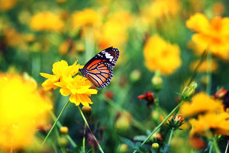 Beautiful butterfly stay in yellow flowers Stock Photo