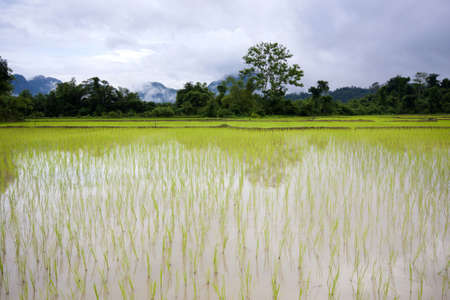 karst: Rice field in Vang Vieng Laos II