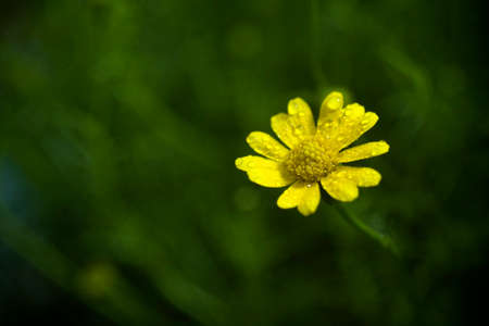 Water drops on yellow flower photo