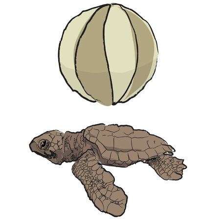 baby turtle: An Illustration of a beach ball and a baby turtle. Illustration
