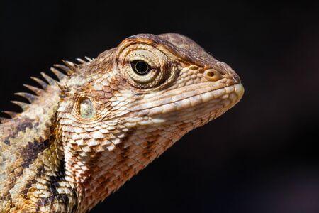 Agamid lizard. Agamidae. Asian lizard. Close up shot taken with professional macro lens. Deep details. Location: Sri Lanka
