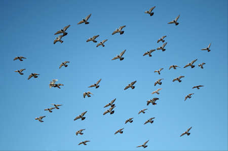 Flying Pigeon Formation in the Sky