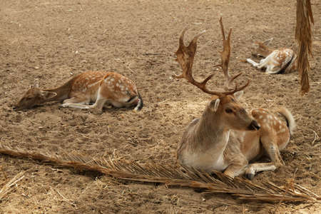 Three deer, male and females resting on sandy soil