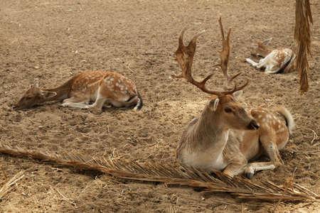 Sandy soil: Tres ciervos, macho y hembras descansan sobre el suelo arenoso Foto de archivo