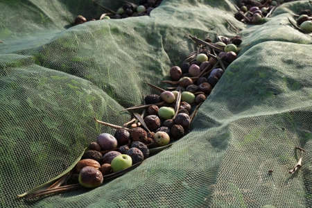 Collecting Olives with a net