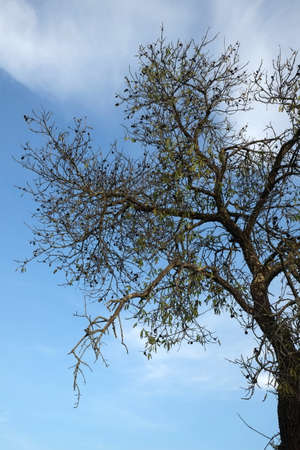 A tall almond tree with a blue sky behind