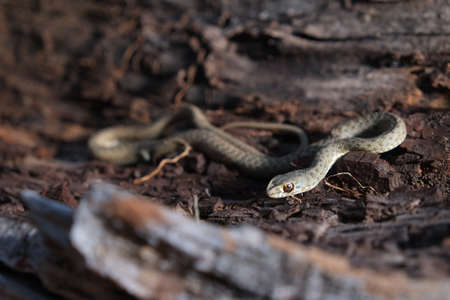 Wild snake going inside a tree trunk. Malpolon monspessulanus