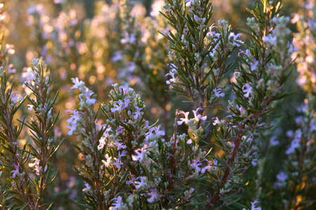 Rosemary flowers at sunset