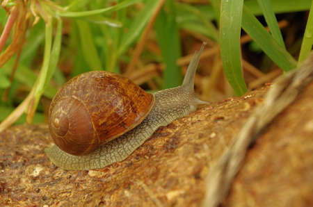 Snail crawling a garden tree after a light rain