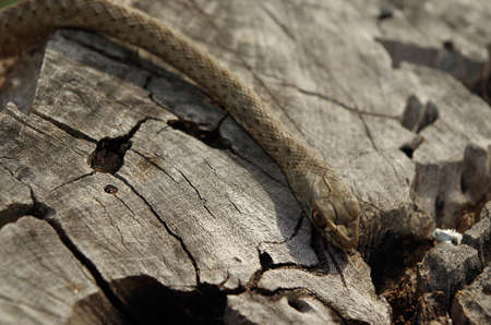 A green and brown wild snake on a tree trunk, close up shot. Malpolon monspessulanus