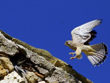 falcon grillaio