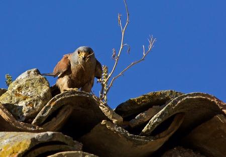 falcon with prey Фото со стока