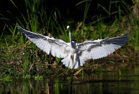 Egret animal instinct