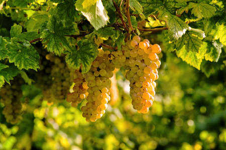the fruitful: cluster of grape