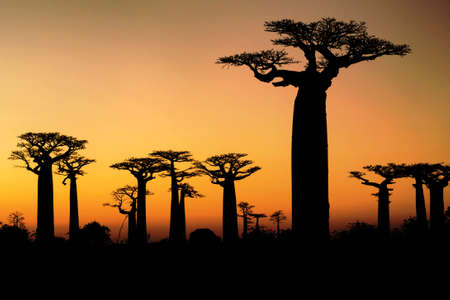 Sunset and baobabs trees photo