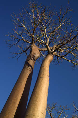 two baobab trees photographed with perspective from below with blue sky background Stock Photo