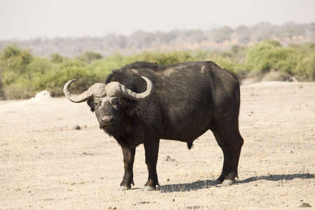 Portrait of an African buffalo photographed in Botswana Stock Photo