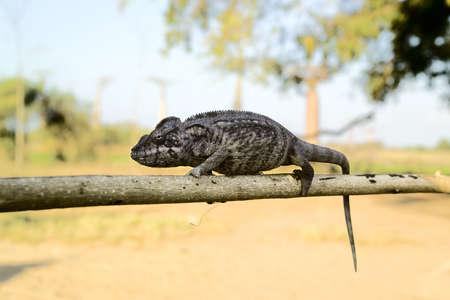 grey Iguana resting on a branch in madagascar Stock Photo - 12360134