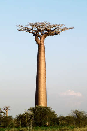 Baobab tree single over plain blue sky photo
