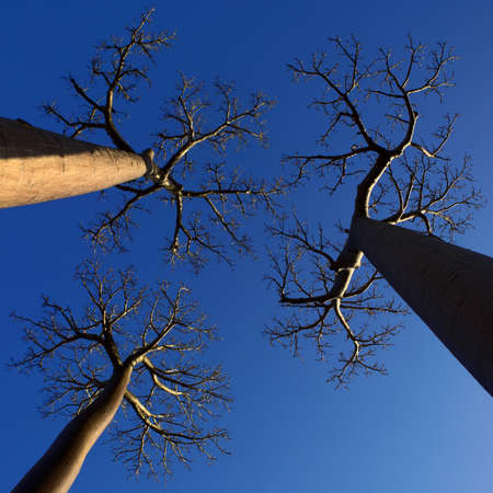 three baobab trees photographed with perspective from below with blue sky background photo