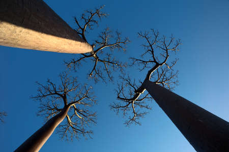 three baobab trees photographed with perspective from below with blue sky background