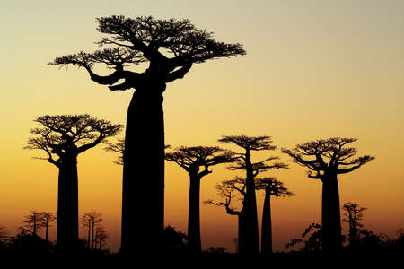 baobab sunset silhouette photo