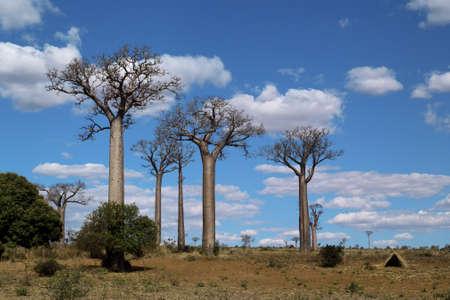 baobab trees Stock Photo