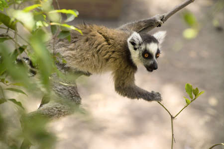portrait of a ring-tailed lemur in natural habitat madagascar photo
