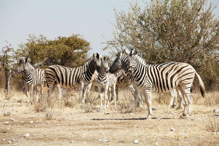 burchell: group of zebra in the Namibia national park