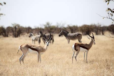 springbok whit zebra on background Namibia photo