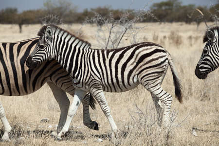 group of zebra in the Namibia national park photo