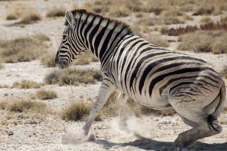little zebra portait namibia photo