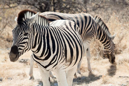 group of zebra in the Namibia national park Stock Photo - 12962905