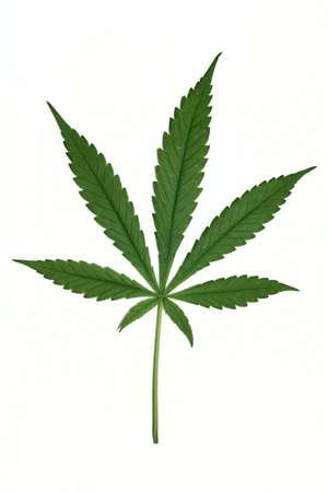 Cannabis leaf isolated on white background Stock Photo - 14577468