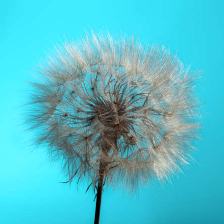 conjugation: Dandelion Isolated in the blue background