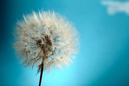 Dandelion Isolated in the blue background photo